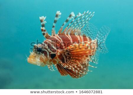 Ray close up portrait in the aquarium  Stock photo © IMaster