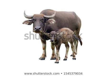 young water buffalo Stock photo © anan