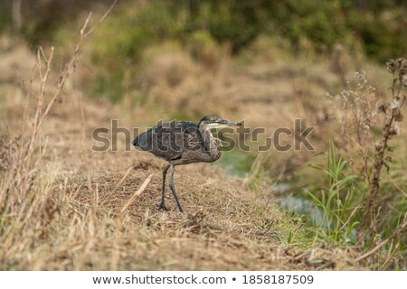blue heron in ditch stock photo © ivonnewierink