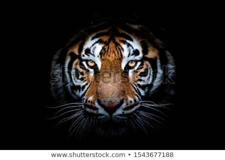 Portré ragadozó tigris közelkép tavasz természet Stock fotó © OleksandrO