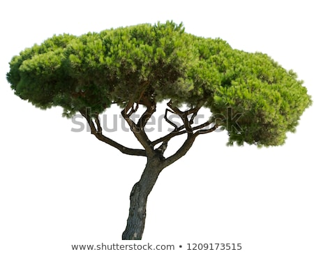 pinus pinea stock photo © hraska