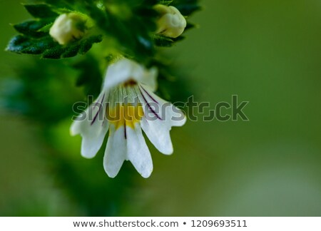 Stock photo: Eyebright Euphrasia Officinalis