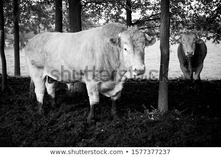 Stockfoto: Bruin · stier · boeren · natuur · weide
