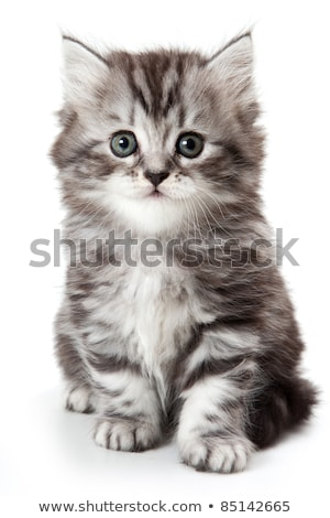 White and Grey Kitten Stock photo © dnsphotography