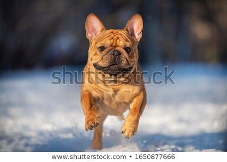 bulldog running in the snow Stock photo © willeecole