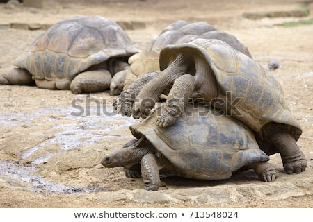couple of turtles making love stock photo © master1305