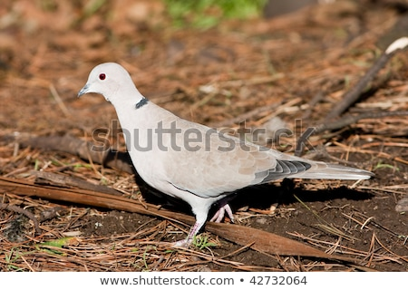 duif · lopen · pine · naalden · landschap · vogel - stockfoto © rekemp