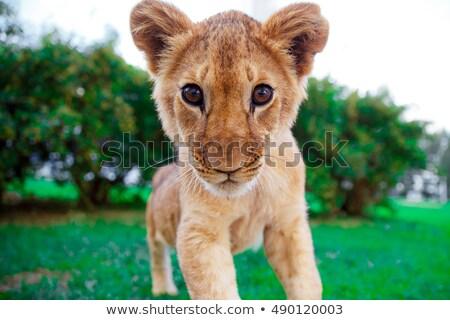 Сток-фото: Lion Cub Staring At The Eyes In Green Sunny Savanna