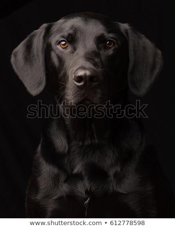 labrador retriever portrait in black background studio stock photo © vauvau