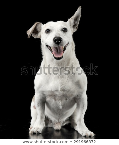 Stock photo: Mixed breed funny ears dog sitting in a dark photo studio