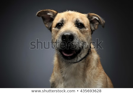 brown color wired hair mixed breed dog in a grey studio stock photo © vauvau