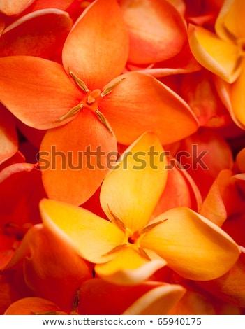 Ixora Flower Close -up stock photo © azamshah72