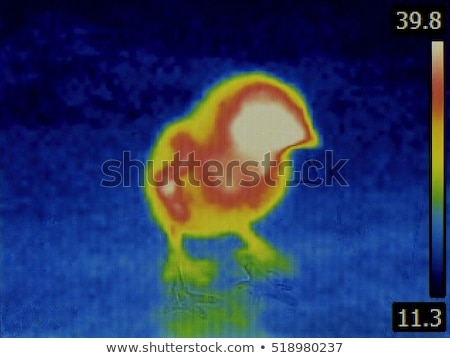 Chick Thermal Imaging Stock photo © Suljo