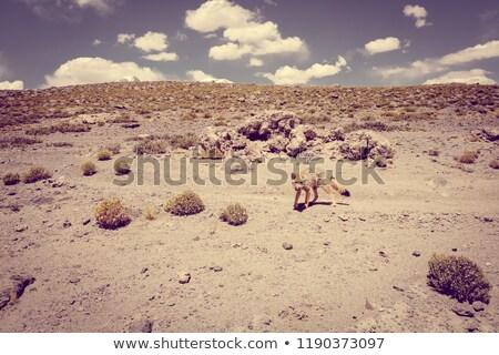Red fox in Altiplano desert, sud Lipez reserva, Bolivia Stock photo © daboost