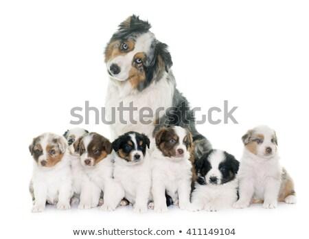 adult and puppies australian shepherd Stock photo © cynoclub