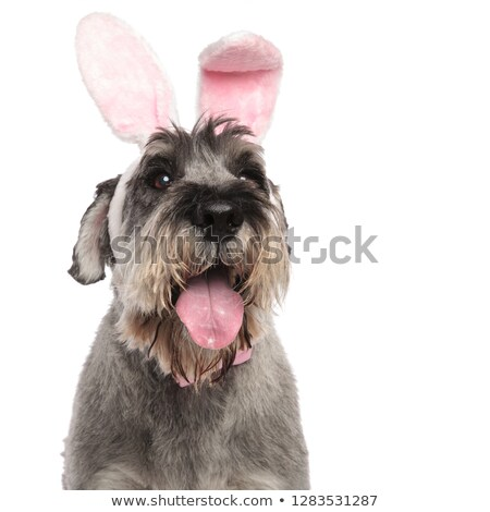 head of cute bunny schnauzer panting while standing Stock photo © feedough