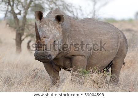 Big White rhino bull standing in the grass. stock photo © simoneeman