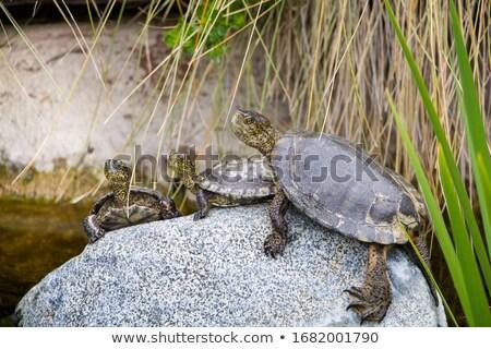Aile kaplumbağalar örnek yeşil baba kabuk Stok fotoğraf © adrenalina