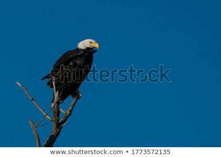 Stock photo: Eagle in tree