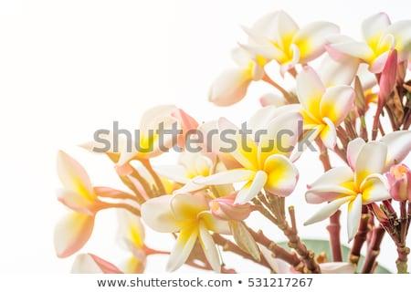 Lan flor belo flor-de-rosa Tailândia flores Foto stock © stoonn