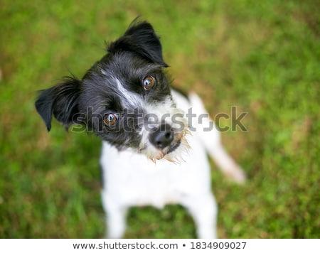 terrier · kutya · vegyes · fajta · fehér - stock fotó © eriklam