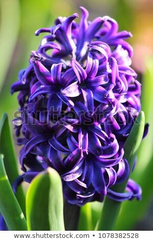 Purple hyacinths in a garden stock photo © duoduo