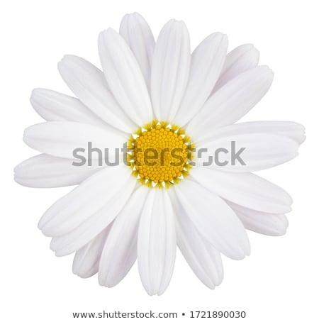 Fresco branco margarida crescente ao ar livre Foto stock © peterveiler