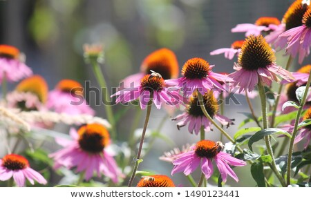 Purple Echinacea Flowers Stock photo © peterveiler