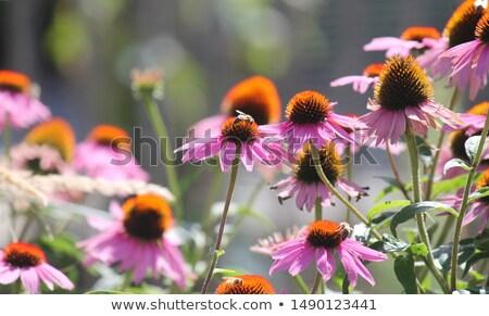 roxo · flores · raízes · planta · usado · medicina · alternativa - foto stock © peterveiler
