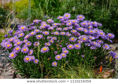 Aster Alpinus Stock photo © Antonio-S