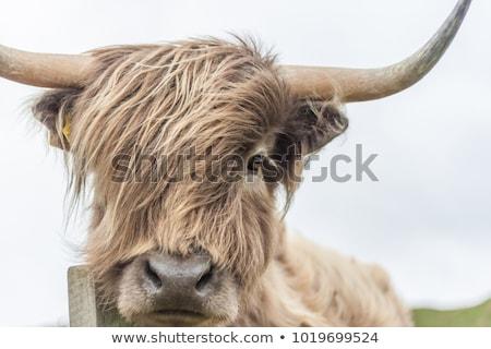 cara · vaca · desgrenhado · fazenda · animal - foto stock © peterveiler