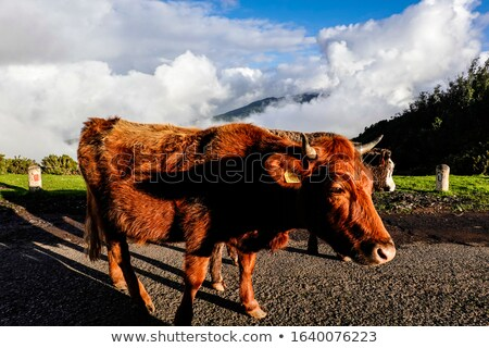 gado · linha · do · horizonte · vacas · touro · blue · sky - foto stock © peterveiler