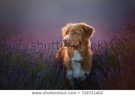 Stok fotoğraf: Happy Dog In A Field With Flowers