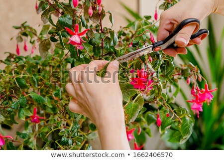 Florist cutting stems off flowers Stock photo © photography33