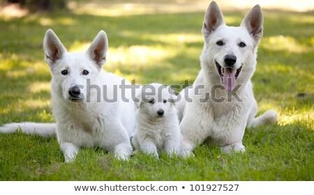 Two swiss white shepherd dogs Stock photo © eriklam