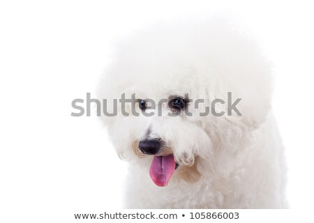 bichon frise puppy dog looking at something  Stock photo © feedough