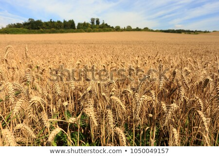 Ears of corn in fields of England Stock photo © backyardproductions