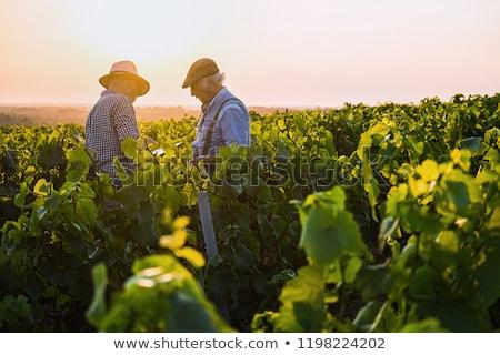 Bor szőlő nyár férfiak fiatal szőlő Stock fotó © photography33