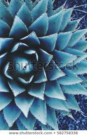 agave · cacto · pormenor · planta · mediterrânico - foto stock © yuliang11