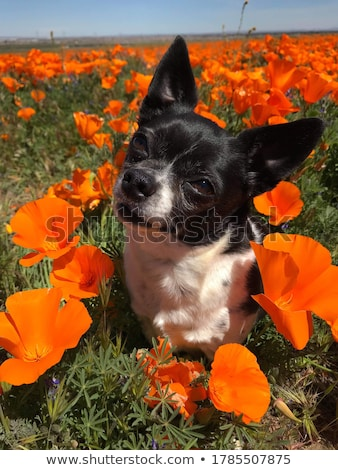 Stock photo: chihuahua and flower