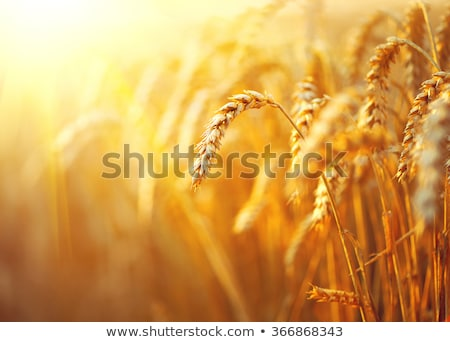 stems of wheat in sun light stock photo © mikko