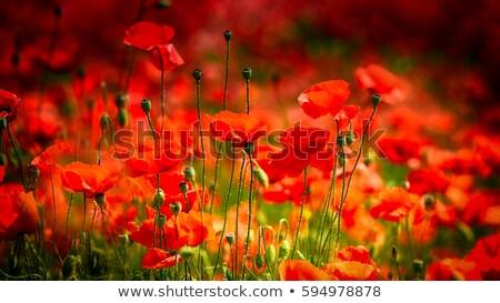 rouge · pavot · domaine · blé · nature · fond - photo stock © haraldmuc
