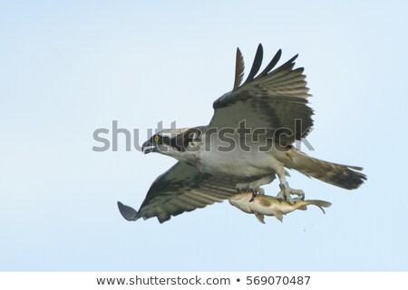 Osprey Bird Carrying a Fish Stock photo © ArenaCreative