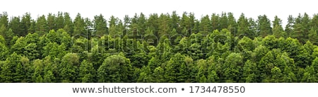Coniferous forest edge Stock photo © photosebia