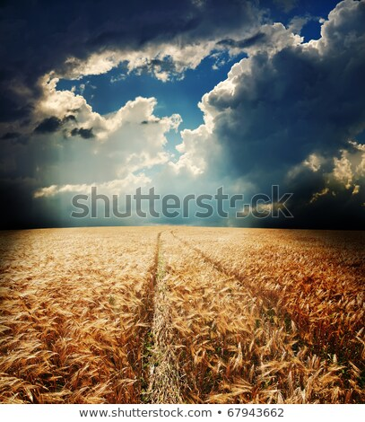 wheat under dramatic sky Stock photo © mycola