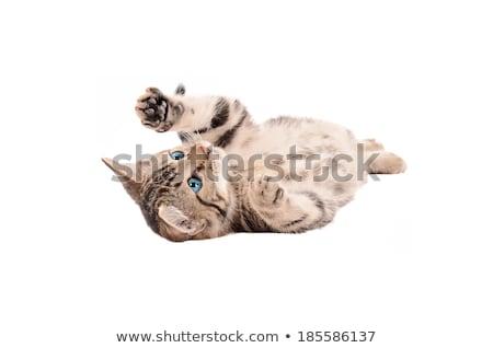 sad blue eyed tabby kitten stock photo © dnsphotography