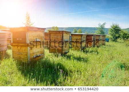Biene Ernte Pollen Sonnenblumen dew Tröpfchen Stock foto © dgilder
