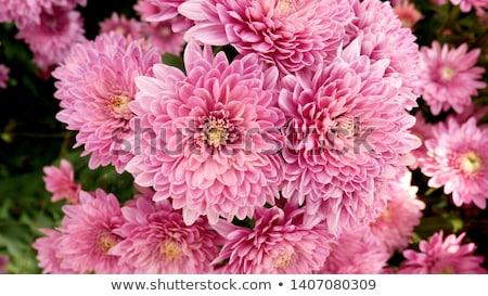 Lila krizantém virágcsokor közelkép levél tapéta Stock fotó © inxti
