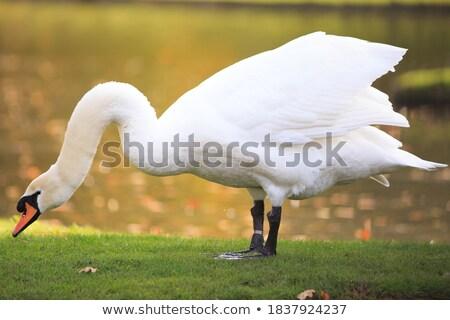 Silenziare Swan erba verde primo piano view acqua Foto d'archivio © BSANI