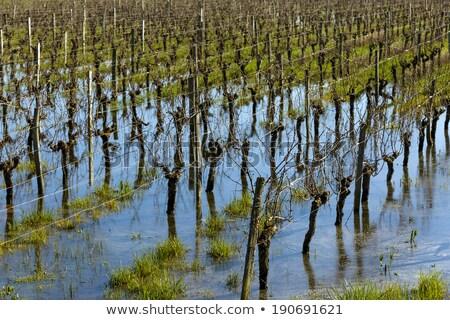 Flooded vineyard in Bordeaux Stock photo © smithore